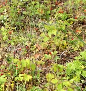 Лесная земляника,фото лесных ягод