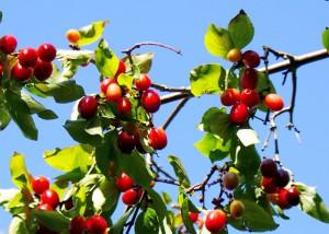 лесные ягоды,фото лесных ягод,ягоды кизила