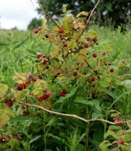 лесная малина,фото лесных ягоды