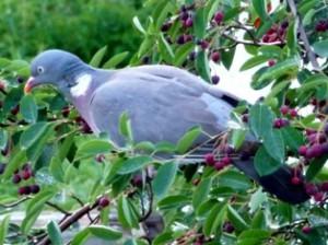вяхирь,форма обратной связи,дикий голубь