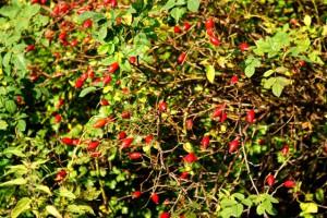 шиповник,фото плодов шиповника