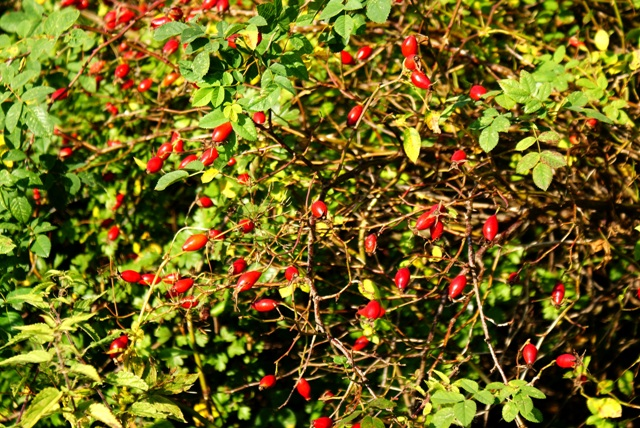 шиповник,фото плодов шиповника,шиповник