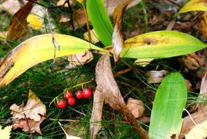 фото ядовитых ягод,плоды ландыша майского