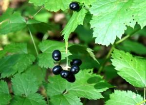 ядовитые ягоды,фото ядовитых растений,воронец колосистый