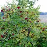 ядовитые растения,бузина красная,фото ядовитых растений