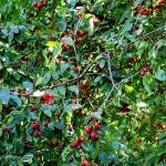ягоды кизила,кизил,фото ягод кизила