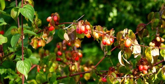 фото ягод кизила,кизил